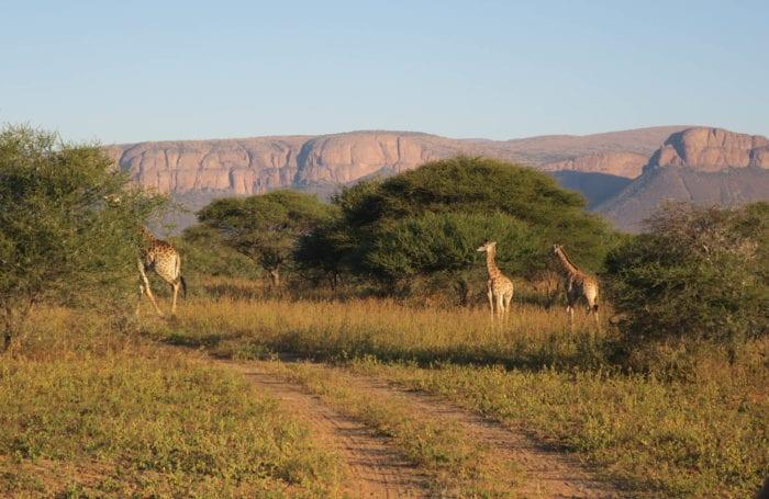 Giraffe South Africa on Moondance